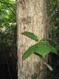 White Oak Bark Plants North Carolina Native Plant Society