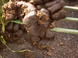 Manure For Vegetable Garden by Horse Manure For Garden