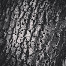 White Oak Bark My Word With Douglas E Welch Woodpecker Holes In Oak Tree Tree