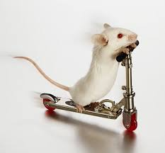 a little white mouse practising on a scooter.