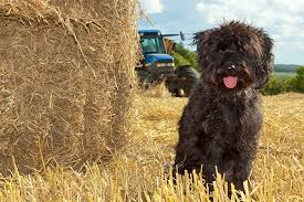 affenpinscher brown schnoodle dog breed information pictures characteristics u0026 facts