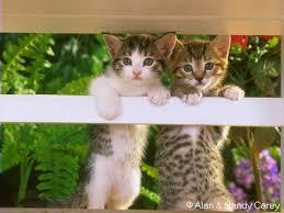 لمحبي القط ولا أروع images?q=tbn:ANd9GcQ
