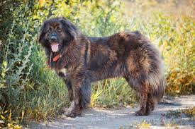 belgian sheepdog chow mix caucasian shepherd dog dogs and puppies for sale in the uk