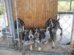 bluetick coonhound puppies for sale in ohio backwoods bluetick kennels orlando fl georgia