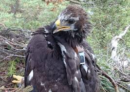 disappearance of young golden eagle in north east sparks plea for
