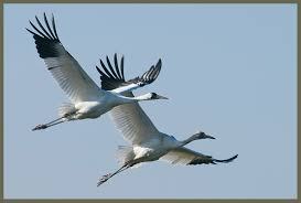 the ripple effect u2026 and saving whooping cranes iteamchicago