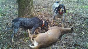 bluetick coonhound oregon reynolds forestry consulting quality timber management in