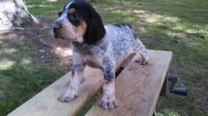 bluetick coonhound puppies for sale in ohio female 3 jpg
