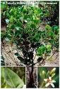 Image result for Aegialitis rotundifolia
