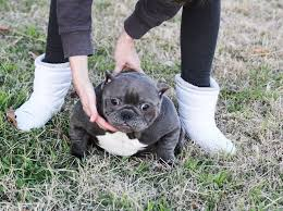 american pitbull terrier for sale in dallas texas exotic bullies for sale toadline bullies exotic bully kennel