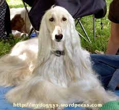 afghan hound long haired dogs pet dog u2013 beauty afghan hound my doggy worlds