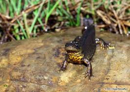 Southern crested newt