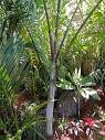 Image result for Dypsis ambositrae