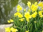 گل نرگس در کنار رودخانه