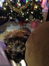 affenpinscher brown apprehensive oreo learning and living with a reactive dog