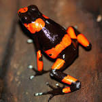 Image result for Oophaga lehmanni