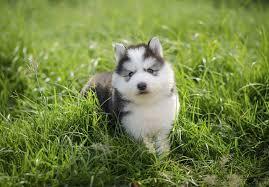 husky x australian shepherd for sale siberian husky puppies for sale akc puppyfinder
