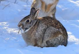 Hunt cottontails  they are easy to find and abundant   StarTribune com Star Tribune Bill Marchel Two cottontail rabbits feed next to heavy cover just before sunset  The Minnesota rabbit hunting season runs through Feb