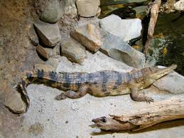 West African slender-snouted crocodile