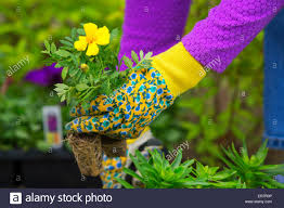 Flowers Plants by Gardening Planting Flowers Woman Holding Flower Plants To Plant