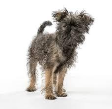 affenpinscher brown 12 of the world u0027s smallest dog breeds mnn mother nature network