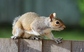 How Do You Get Rid Of Possums In The Backyard by Squirrels How To Get Rid Of Squirrels In The Garden The Old