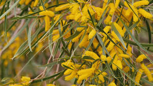 Tree With Bright Yellow Flowers - the bright yellow golden flowers of a wattle acacia tree in