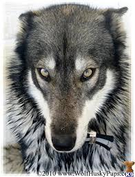 husky x australian shepherd for sale best 25 wolf husky ideas on pinterest wolf photography