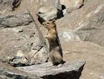 Image result for Spermophilus lateralis