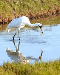 whooping crane eating a blue crab with reflection u2014 stock photo