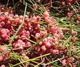 Image result for Ephedra tweediana