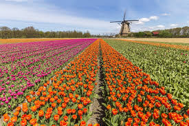 facts about tulips popsugar home australia