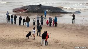 O que acontece com baleias que morrem nas praias?