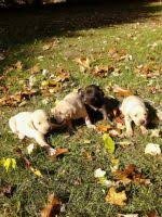 3 australian shepherd mix puppies for adoption dogs for sale or wanted classifieds