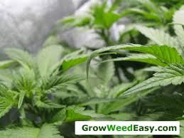 how often do i water marijuana plants grow weed easy
