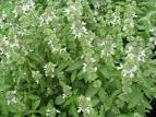 <b>Ocimum basilicum</b> &#39;americanum&#39;