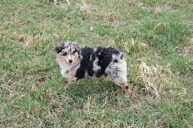 australian shepherd qualities pedigrees chevreherd australian shepherds