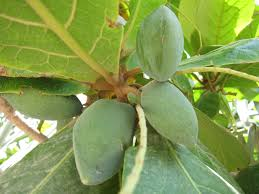 Indian-almond
