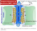 de la proteína <b>acuaporina</b>
