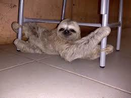 Bicho-preguiça é resgatado após ser encontrado em rodovia no ...