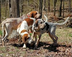 training a bluetick coonhound to hunt adopt a cat or a dog at savearescue