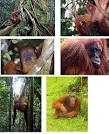 Orangutans of Borneo and Sumatra | Animal Pictures and Facts ... factzoo.com