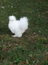 backyard chickens for sale white silkie roosters and one buff for sale backyard chickens