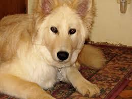 belgian sheepdog chow mix uncategorized dog and cat