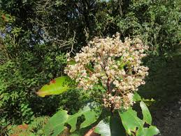 Photinia integrifolia