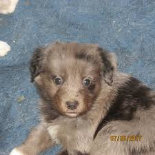 3 australian shepherd mix puppies for adoption three creek australian shepherds australian shepherds with tails