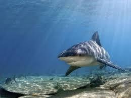 Bahamas Bans Shark Fishing