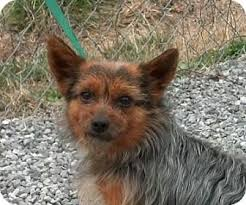 australian shepherd yorkshire terrier mix reagan reduced 350 adopted dog tia windham nh yorkie