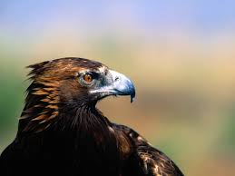 american eagle pictures golden eagle profile