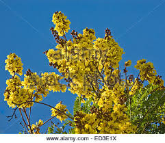Tree With Bright Yellow Flowers - cluster of vivid yellow flowers of australian native wattle tree